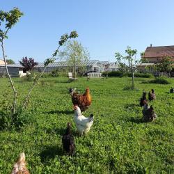 Nos poules en plein air